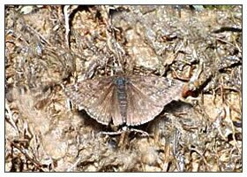 Природный камуфляж - Бабочка на коре дерева