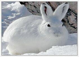 Природный камуфляж - Заяц на снегу