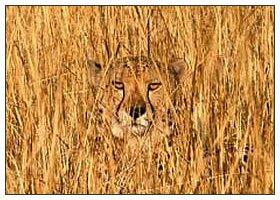 Природный камуфляж - Тигр в траве